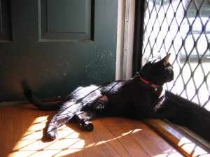 A black cat is lying on the floor so he can look out a screen door on the right side of the photo